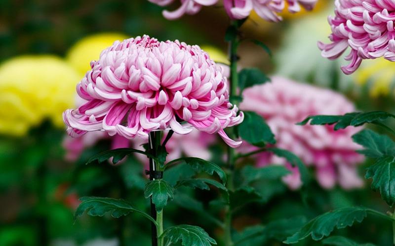 菊花の候 時候の挨拶 読み方 意味 例文
