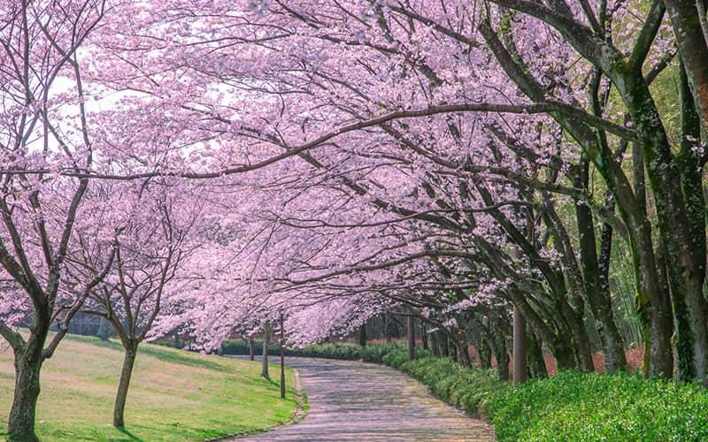 桜花の侯 時候の挨拶 読み方 意味 例文